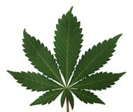 SA's Position Paper on Cannabis debated