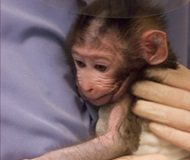 NIH reviews use of non-human primates in research