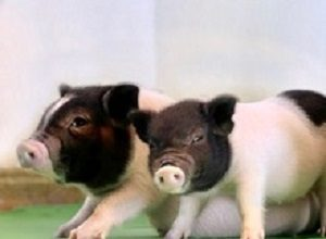 Gene-edited piglets opening door to animal organ transplants