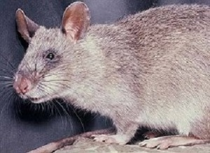 Rats detect TB in children better than basic microscopy test